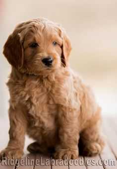 Our favorite photos of our lovable Australian Labradoodles.