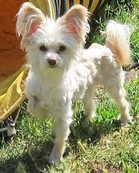 Image result for chinese crested mix