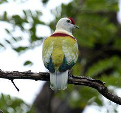 Many-colored Fruit Dove (Ptilinopus perousii)