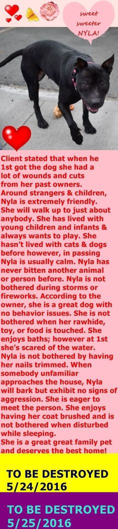 RETURNED 06/14/16 PETS CONFL --- SAFE 5-25-2016 --- Brooklyn Center My name is NYLA. My Animal ID # is A1073506. I am a female black am pit bull ter mix. The shelter thinks I am about 5 YEARS old. I came in the shelter as a OWNER SUR on 05/12/2016 from NY 11418, owner surrender reason stated was MOVE2PRIVA. http://nycdogs.urgentpodr.org/2016/05/nyla-a1073506/