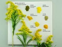 Goldenrod and Pigments