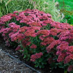 "Here are some gardening tips on Sedum ""Autumn Joy"" Part Shade Perennials, Long Blooming Perennials, Flowers Perennials, Planting Flowers, Autumn Flowers Garden, Shade Flowers Perennial, Sun Plants, Garden Plants, Dwarf Plants"