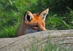 foxhunting - Google Search