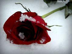Google Image Result for http://www.deviantart.com/download/196596246/snowy_rose_by_kateannexterrasochi-d391qmu.jpg