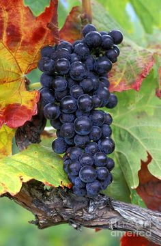 Merlot Grapes. Merlot is a dark blue-coloured wine grape, that is used as both a blending grape and for varietal wines.  Merlot is one of the primary grapes used in Bordeaux wine,
