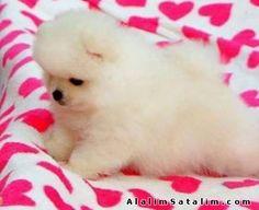 Hayvanlar Alemi Evcil Hayvanlar Köpek Pomeranian  - TEDDY BEAR POMERANİAN BOO