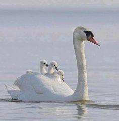Veilig bij moeder zwaan.