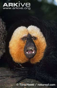Golden-faced saki | Golden-faced saki (Pithecia pithecia)