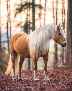 Pretty sorrel Haflinger horse standing in the light of a forest clearing.