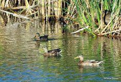 Photo: Canard colvert et Canards noirs
