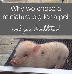 choosing a pig for a pet