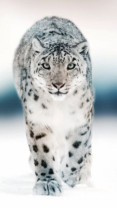 Snow leopards are my favorite animals!!