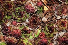 Beauty In Nature Flower Flower Head Green Color Growth Nature Succulents Sukkulent Green Colors, Succulents, Leaves, Flower Backgrounds, Rose, Nature, Flowers, Plants, Photography