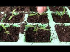 Tomaten In Kübeln Pflanzen.mpg - Youtube | Garten Und Balkon ... Tomaten Balkon Pflanzen Tipps