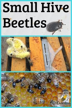 Vegetable Gardening For Beginners Learn how you can protect your beehive from being over-taken by small hive beetles. There are several hive beetle treatment options to consider. Beekeeping For Beginners, Gardening For Beginners, Gardening Tips, Vegetable Gardening, Organic Gardening, Container Gardening, Drone Bee, Raising Bees, Backyard Beekeeping
