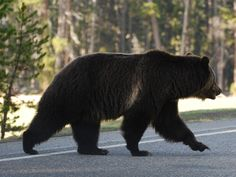 Why does a grizzly cross the road? Because he doesn't know Glacier National Park has a border. Support these beautiful creatures and their habitat- go to vitalground.org and become a member.