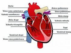 Dezintoxicarea - magia vindecării (XI): Curăţirea sistemului cardiovascular, a sângelui şi a vaselor de sânge Scooby Doo, Fictional Characters, Magick, Anatomy, Fantasy Characters