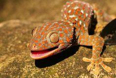 Геккон (фото): ящерица с фантастическими способностями