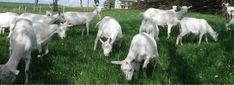 Ziegenhof Tanzer Goats, Animals, Animales, Animaux, Goat, Animal, Animais