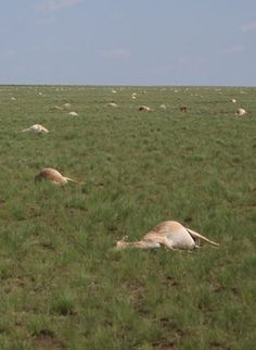 In May 2015, nearly half of all the saigas, a critically endangered antelope that roams the steppe of Kazakhstan, died off. Exactly why is still a mystery. Researchers have found clues that bacteria clearly played a role in the saigas' demise. But exactly how these normally harmless microbes could take such a toll is still a scientific mystery.