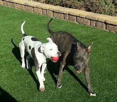 Bandit and Gage. #pitbull #dogparkpublishing www.dogparkpublishing.com www.facebook.com/ittypitties
