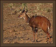 """Imbabala Bushbuck (Tragelaphus sylvaticus) - photo by Steve Garvie (Rainbirder), via Flickr;  """"A male Bushbuck with his attendant Red-billed Oxpeckers in Central, Kenya. These are plucky wee antelope which when cornered don't hesitate to stab at their aggressors with their short spiral horns."""""""