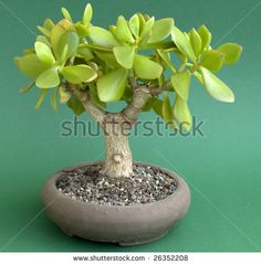 Seeds - 10 Jade Tree - Crassula ovata Bonsai Seed - Indigenous Succulents was listed for on 13 May at by Seeds and All in Port Elizabeth Echeveria, Crassula Succulent, Succulent Bonsai, Bonsai Garden, Succulents In Containers, Cacti And Succulents, Planting Succulents, Planting Flowers, Mini Bonsai