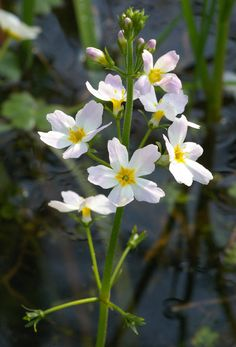 Speed Dating - Water Violet Flower Essence for Exaggerated pride Independence and Arrogance