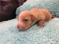 ●2•5•18 SL● •♡•NEW YORK•♡• ☆SUPER URGENT☆ Hadley a American Pit Bull Terrier for adoption in New York, NY who needs a loving home. Meet Hadley! This cutie pie is a 3 week old Pit mix puppy who comes into rescue from Alabama. Her and her seven littermates found themselves with no mom at this critical stage in their lives. They are safe now and in a foster home where they will get the care they need until they are old enough to go to their forever homes!