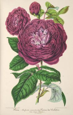 v.7 (1860) - L'Illustration horticole : - Biodiversity Heritage Library   From Pinner friend JT