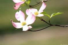 Image result for dogwood flower photos