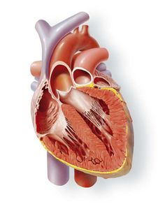 amazing medical illustration of the internal structures of the heart by Marcin Oleksak