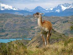 """Ein Lama in seinem natürlichen Lebensraum, scheint alle """"Nur-Kurzbesucher"""" des Nationalparks Torres del Paine auszulachen."""
