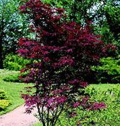 Acer palmatum 'Bloodgood' 4m. Small Trees For Garden, Garden Trees, Small Gardens, Bloodgood Japanese Maple, Acer Palmatum, Shrubs, Garden Design, How To Find Out, Plants