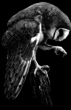 An Exquisite Paradox Beautiful Owl, Animals Beautiful, Cute Animals, Lechuza Tattoo, Owl Pictures, Creature Feature, Animal Totems, Owl Art, Birds Of Prey
