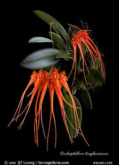Cirrhopetalum tingabarinum, a lovely orchid.