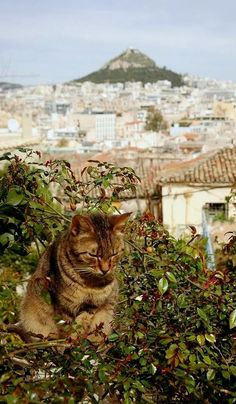 Anafiotika ~ Old Athens, Greece Crazy Cat Lady, Crazy Cats, Kitty Cats, Cats And Kittens, Acropolis, Athens Greece, Greeks, Macedonia, Ancient Greece