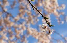 夕刻の染井吉野 青空と染井吉野のピンクのコントラストが映えている素敵な瞬間に出会えました #ソメイヨシノ #染井吉野 #新宿御苑 #桜 #cherryblossom #TOKYO #SAKURA #JAPAN