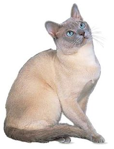 Tonkinese Cat are a medium-sized cat breed distinguished by points as with Siamese and Birman breeds. They are lively, friendly, often talkative cats, with gregarious personalities, and can live indoors if given enough exercise. They are commonly referred to as 'Tonks'.