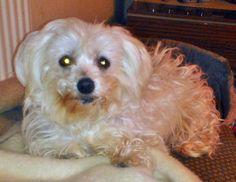 Malteser Gina In stillem Gedenken an meine kürzlich verstorbene Gina im Alter von 14 Jahren. Jetzt ist sie im Hundehimmel ♥ Hundename: Gina / Rasse: Malteser      Mehr Fotos: https://magazin.dogs-2-love.com/foto/malteser-gina-2/ Foto, Hund, Liebe