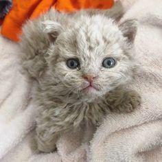 Cute Kittens, Cats And Kittens, Selkirk Rex Kittens, Curly Cat, Cute Cats Photos, Rex Cat, Cattery, Beautiful Cats, Cat Breeds