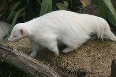 Albino Skunk/25 All-White Animals   Bored Panda