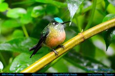 https://flic.kr/p/rVpNW4 | LONG-TAILED SYLPH Female (a hummingbird) Aglaiocercus kingi in the Papallacta River Valley in Northern ECUADOR. Hummingbird Photo by Peter Wendelken.