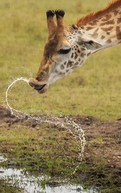 Being a Giraffe is Tricky