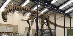 Hace unos 94 millones de años caminaba por lo que hoy es la Patagonia, el mayor de los dinosaurios del que hay mayores evidencias, el Argentinosaurus huinculensis. Por sus restos, se estima que