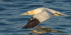 Northern Gannet par Michel Gauvin