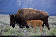 Hayden Valley, bison and baby by simonsun08, via Flickr