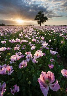Stock Photo : Field of pink poppies (papaver somniferum) at sunrise, Dorset, England Wild Flowers, Beautiful Flowers, Sun Flowers, Purple Flowers, Wedding Flowers, Jolie Photo, Pretty Pictures, Flower Pictures, Beautiful World