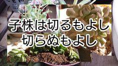 [多肉植物]子株ははずすもよし!はずさぬもよし! - YouTube Propagating Succulents, Planting Succulents, Succulent Care, Propagation, Green, Youtube, Plants, Plant, Youtubers