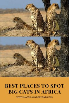 Best places to spot big cats in Africa - In Africa and Beyond | Africa travel , Family travel